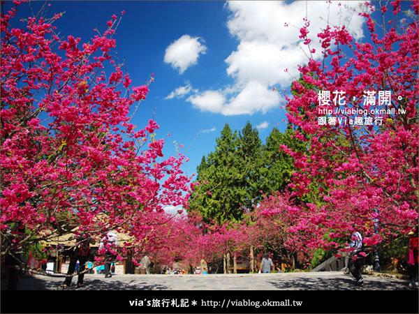 【九族櫻花季】櫻花滿開!最浪漫的九族文化村櫻花季17