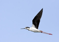 Black-Necked Stilt IF (DMF Photography) Tags: nature birds inflight blackneckedstilt florida wildlife birding swamp wetlands everglades marsh birdwatching birder stilts southflorida delraybeach palmbeachcounty wakodahatcheewetlands wakodahatchee floridaeastcoast southeastflorida flightshots