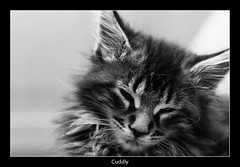 Maine Coon (nune) Tags: blackandwhite bw cute cat kitten young kitty sleepy cuddly mainecoon 2010 monochromia