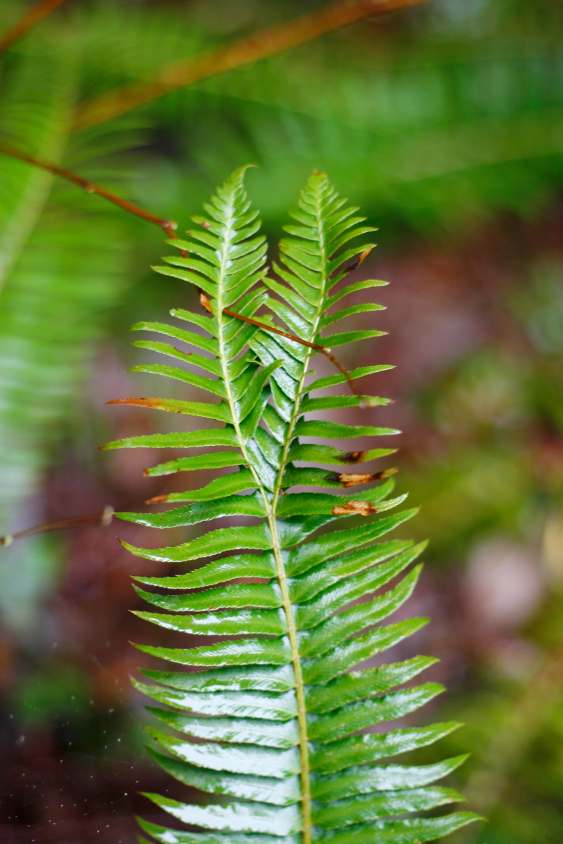 Bifurcated Fern