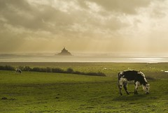 Mont st Michel (morosphinx) Tags: france cow europe bretagne unesco normandie normandy francia montstmichel montsaintmichel stmichaelsmount normandia mountstmichel montsaintmichael montsaintmichell montesanmichele montsantmiquel
