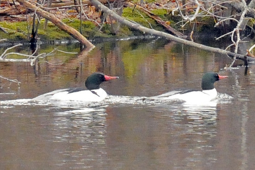 common merganser males