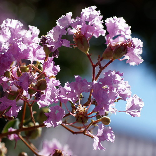 The Crape Myrtle with fence bokeh!