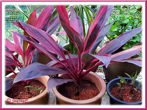 Shot Feb. 28 2010: successful propagation of Ti Plants (Cordyline terminalis), planted 30 days ago