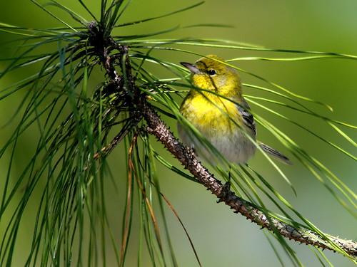 Pine Warbler 3-20100228