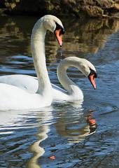 Yin and yang. (Pete 5D......) Tags: bird swan imac wildlife aves swans thegalaxy ef70200f28lisusm canon5dmarkii mygearandmepremium mygearandmebronze mygearandmesilver mygearandmegold mygearandmeplatinum