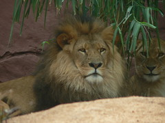 lion at taronga zoo sydney