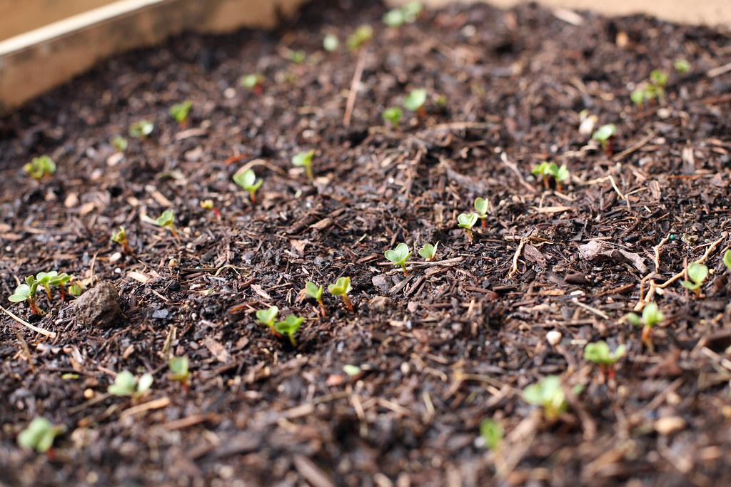 Radish sprouts