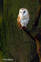 Barn Owl Tyto alba perched in a tree (Nigel Blake, 12 MILLION...Yay! Many thanks!) Tags: light tree bird history nature birds barn canon photography dawn natural alba wildlife owl perched blake nigel ornithology owls tyto eos1dsmkiii 600mmf4is