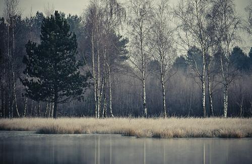 #02: Dieses Kieferngewächs tanzt etwas aus der Reihe. Im Vordergrund ist leichter Nebel zu erahnen. Das Bild entstand am Christopherussee.