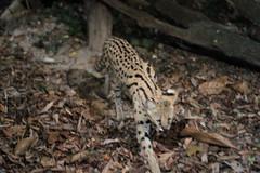030310 - day 3 - night safari singapore zoo (44) (nate.cho) Tags: zoo singapore singaporezoo nightsafari