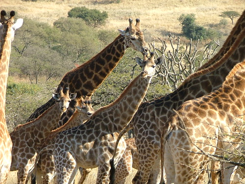 group of giraffs
