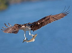 Osprey With Just Caught Lizard Fish Everglades National Park (kevansunderland) Tags: hawk raptor evergladesnationalpark osprey fishhawk birdinflight lizardfish floridawildlife birdphotography floridabirds ospreywithfish