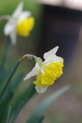 咲き始めた西洋水仙