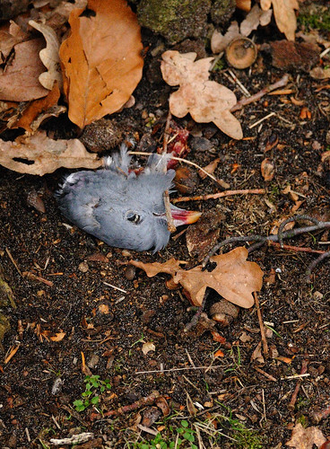 pigeon's head