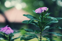 Start afresh. (VinothChandar) Tags: park new morning pink india flower green water beautiful beauty rose start droplets drops colorful bright bokeh good gorgeous madras drop fresh beginning childrens goodmorning chennai tamilnadu santhome adyar naturesfinest mylapore afresh guindy guindynationalpark