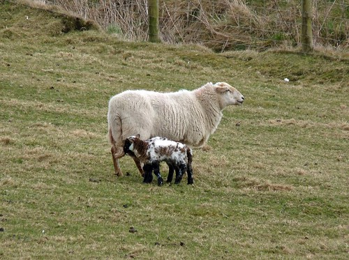 12127 - New Lambs at Rhossili