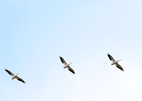 American White Pelicans...