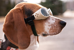 Floyd VS the Red Baron (Paguma / Darren) Tags: dog goggles hound floyd doggles tamronspaf1750mmf28xrdiiildasphericalif