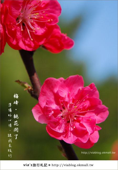 【梅峰農場桃花緣】最美的桃花隧道,就在南投梅峰這裡~(上)12