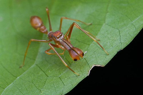 My 1st red ant-mimic spider...IMG_1282 copy