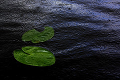 Sitting in the rain (Embuz) Tags: summer water rain river waterlily lily ripple sade surface moment nymphaea vesi kes pinta joki lumme hetki lumpeenlehti lumpeet vrhdell vrhdys