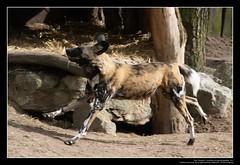 African Wild Dogs / Afrikanische Wildhunde (05) (Georg Sander) Tags: pictures wild wallpaper dog dogs zoo photo foto shot image photos shots african picture perro photograph fotos bild capture duisburg garten bilder captures africano lycaon zoologischer aufnahmen salvaje aufnahme pictus wildhunde afrikanischer wildhund afrikanische wildehond hyänenhund cynhyène gerald1311 hyänenhunde wildehonds