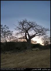 A Baobab in Wadi Hinna, Dhofar (Shanfari.net) Tags: trees summer tree nature lumix raw natural panasonic malvaceae oman wadi fz mountian baobab zufar digitata rw2 salalah hinna  sultanate dhofar  khareef     mirbat adansonia    adansoniadigitata       governate  dofar fz38 marbat  fz35 dmcfz35  qaith