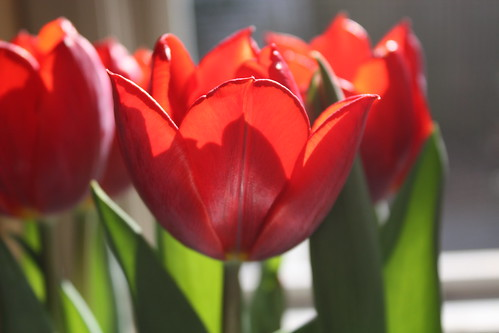 Tulips (by caitysparkles)