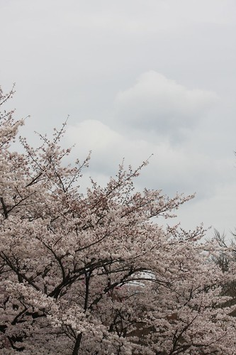 The cherry tree which reaches the sky
