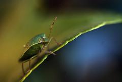 sbucata dal nulla (francesca sara) Tags: macro nikon insects insetti macrofotografia cimice nikond80 colorphotoaward