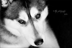 Portrait of a Husky (iltby photography) Tags: dog white black face nose eyes husky canine doggy siberian 40d thelittledoglaughed