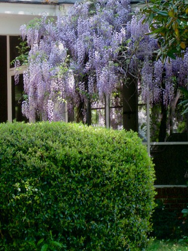 wisteria.<span class=