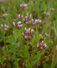 showy sea blush - plectritis ciliosa ssp. insignis