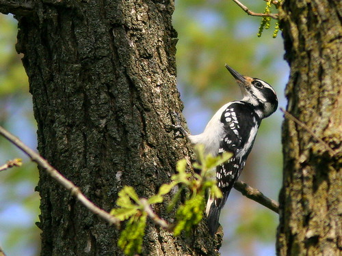Hairy Woodpecker 20100415