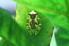 "Frog 3 • <a style=""font-size:0.8em;"" href=""http://www.flickr.com/photos/30765416@N06/4528584223/"" target=""_blank"">View on Flickr</a>"