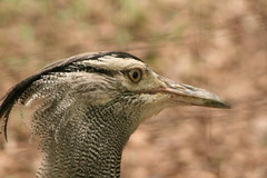 "Kori Bustard head • <a style=""font-size:0.8em;"" href=""http://www.flickr.com/photos/30765416@N06/4528601093/"" target=""_blank"">View on Flickr</a>"