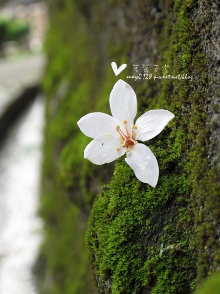 油桐花6-2010.04.18
