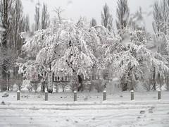 桜も雪を背負う