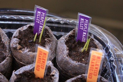 Purple Majesty Millet (G2) Sprouting
