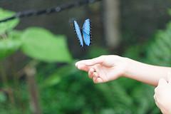 baudchon-baluchon-mindo-papillons-44