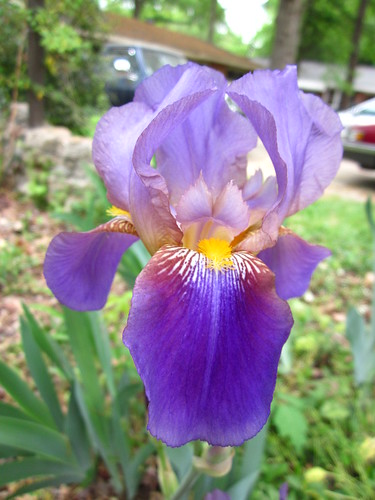 Iris in our yard!