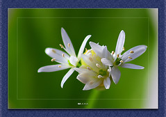 Tiny Beauties (Mara`) Tags: blue white flower color green beauty nova yellow spring tiny theunforgettablepictures novaphoto