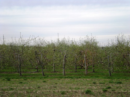 Apple Orchard in the Spring