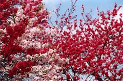 * (mie**) Tags: park flower love japan heart sweet plum  osaka eoskiss fayewong randomthoughts  fujixtra400