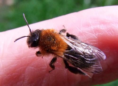 Tawny Mining Bee (3)