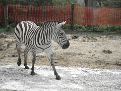 """Zebra 1 • <a style=""""font-size:0.8em;"""" href=""""http://www.flickr.com/photos/49635346@N02/4557897172/"""" target=""""_blank"""">View on Flickr</a>"""
