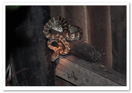 Carpet Python-0152