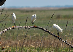 Three...Bombay Hook, Delaware (ozoni11) Tags: bird nature birds animal animals nikon delaware egret snowyegret egrets snowyegrets d300 bombayhook michaeloberman ozoni11 bombayhookdelaware