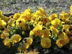 flower   GORA PARK (ddsnet) Tags: plant flower japan sony cybershot  nippon  hakone nihon hanami  backpackers  flower       kanagawaken    gorapark flower japan japan   hx1   flowerinjapan